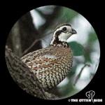 quailbw2-l