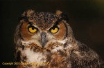 Great Horned Owl - The Prey's View